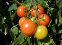 Ein Tomatenhaus aufbauen